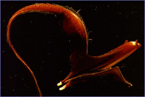 Pix o' Creatures of the Deep: Pictures - Umbrela mouth gulper eel