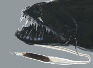 Pix o' Creatures of the Deep: Pictures - Black drogon fish