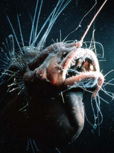 Pix o' Creatures of the Deep: Pictures - Hairy angler fish