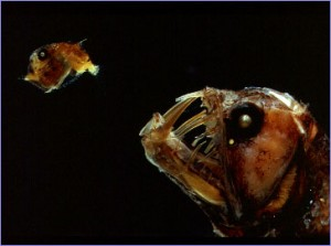 Pix o' Creatures of the Deep: Pictures - Hungry looking viper fish