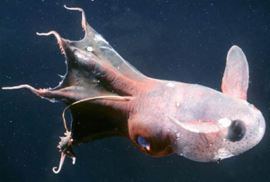 Pix o' Creatures of the Deep: Pictures - Vampire squid