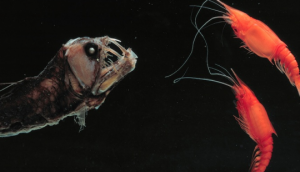 Pix o' Creatures of the Deep: Pictures - Viper fish and friends