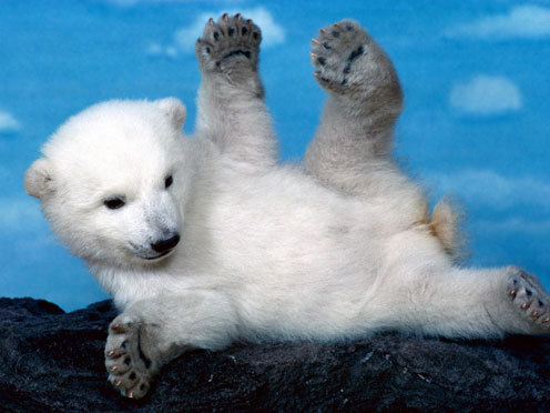 Cute baby animals pictures - Cute baby polar bear cub