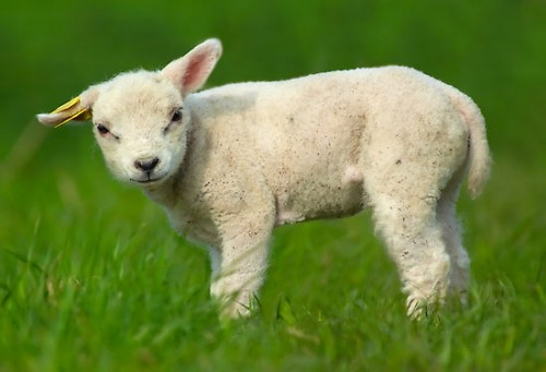 Cute baby sheep - baaaaaaa