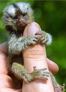 Pygmy monkey on thumb