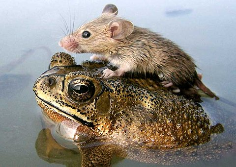 Mouse hitches a ride with the frog