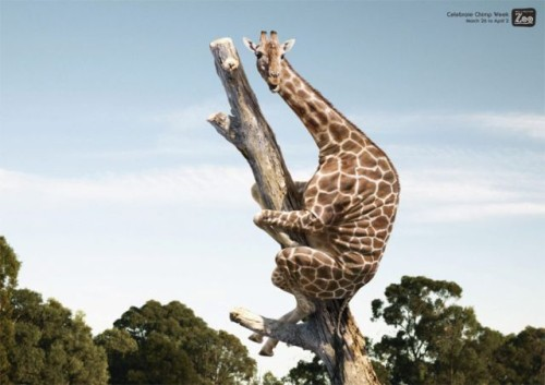 Giraffe up the tree
