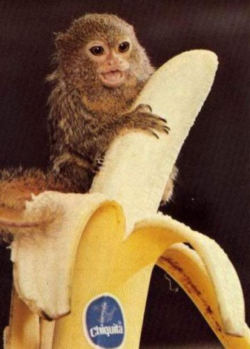 pygmy marmoset on a banana