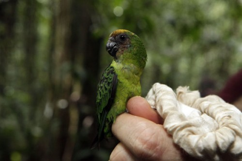 Buff-Faced-Pygmy-Parrot