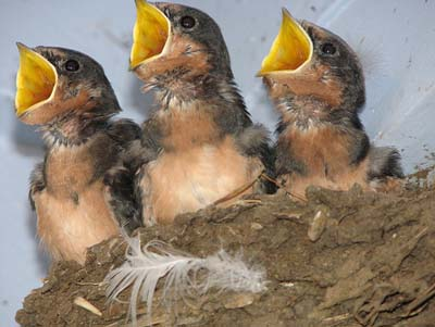 Baby-birds are hungry