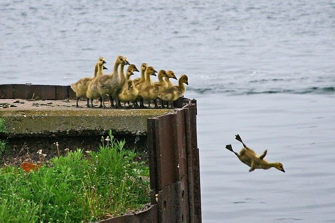 Olympic training - ducks go diving
