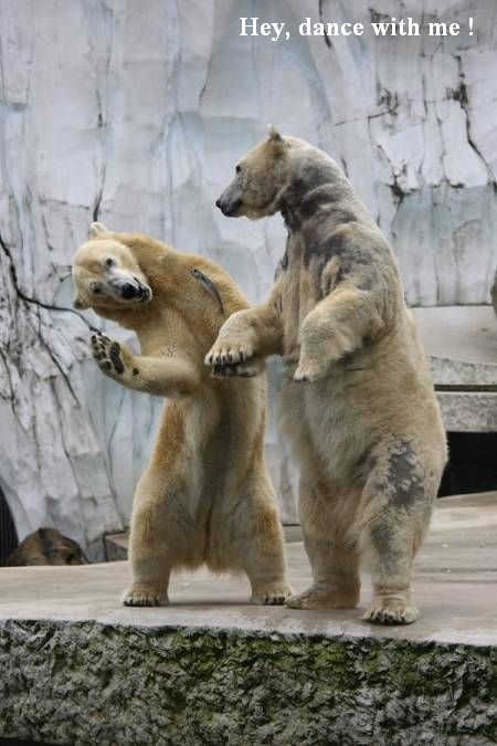 Think you can dance? These funky polar bears can.