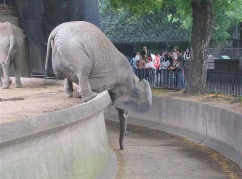 great balancing act by this big elephant