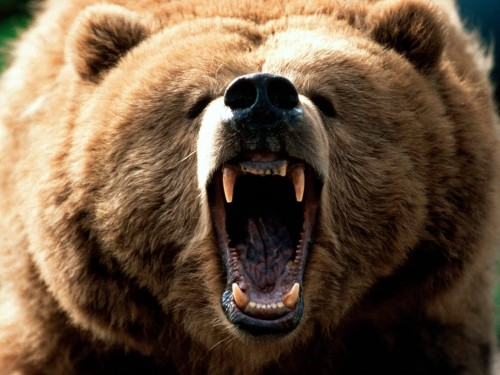 grizzly roaring - bear attack