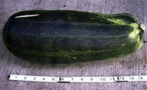 the zucchini that beat the bear