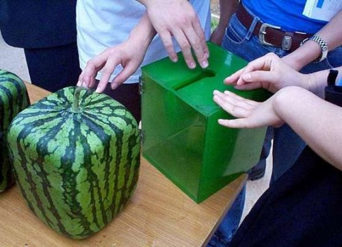 How to grow-a-square-watermelon