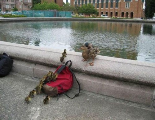 Funny Interesting Weird Random Pictures - ducks out for a walk