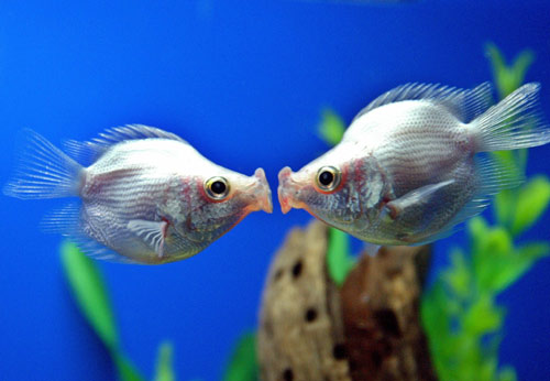 LOL Everything funny pictures and images - fish kiss