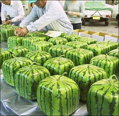 Square watermelon grown in Japan.