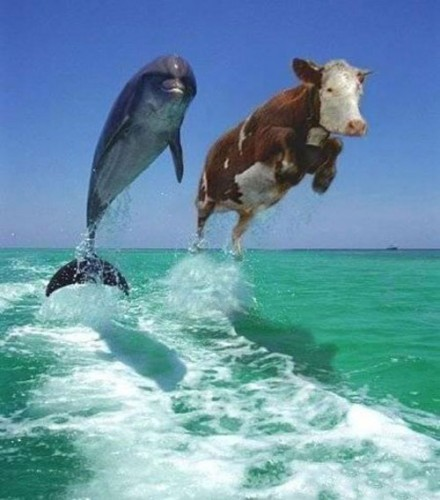 Swimming with the cows