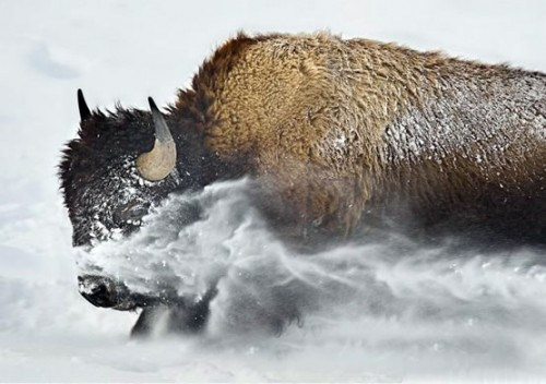 Bison playing in the snow