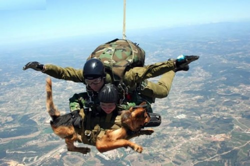First puppy cosmonauts and now skydiving dogs