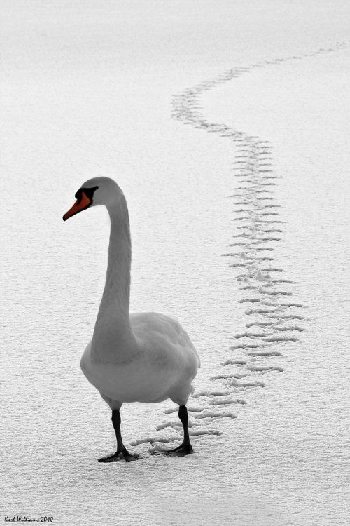 Goose stepping in the snow