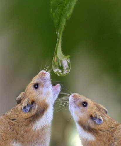 Thirsty little hamsters