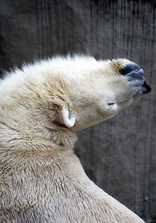 contortionist polar bear bends over backwards