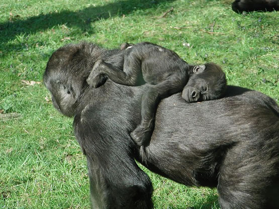 http://cdn2.listsoplenty.com/listsoplenty-cdn/pix/uploads/2010/11/gorilla-mom-takes-sleeping-baby-for-a-walk.jpg