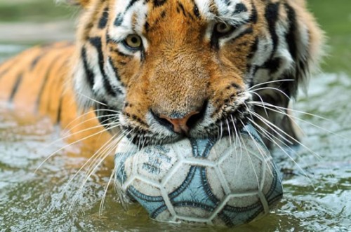 soccer playing tiger