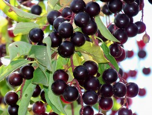 List o' 13 Lethal Poison Plants: Choke Cherry