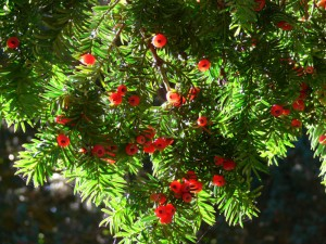 List o' 13 Lethal Poison Plants: English Yew
