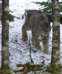 List o' 10 Extraordinary Examples of Animal Camouflage: lynx