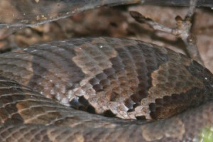 List o' 10 Extraordinary Examples of Animal Camouflage: copperhead snake