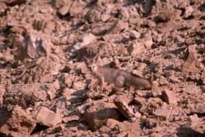 List o' 10 Extraordinary Examples of Animal Camouflage: Desert Fox