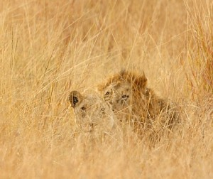List o' 10 Extraordinary Examples of Animal Camouflage: lion