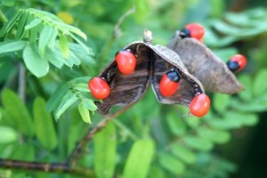 List o' 13 Lethal Poison Plants: rosary-pea