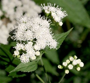 List o' 13 Lethal Poison Plants: snakeroot