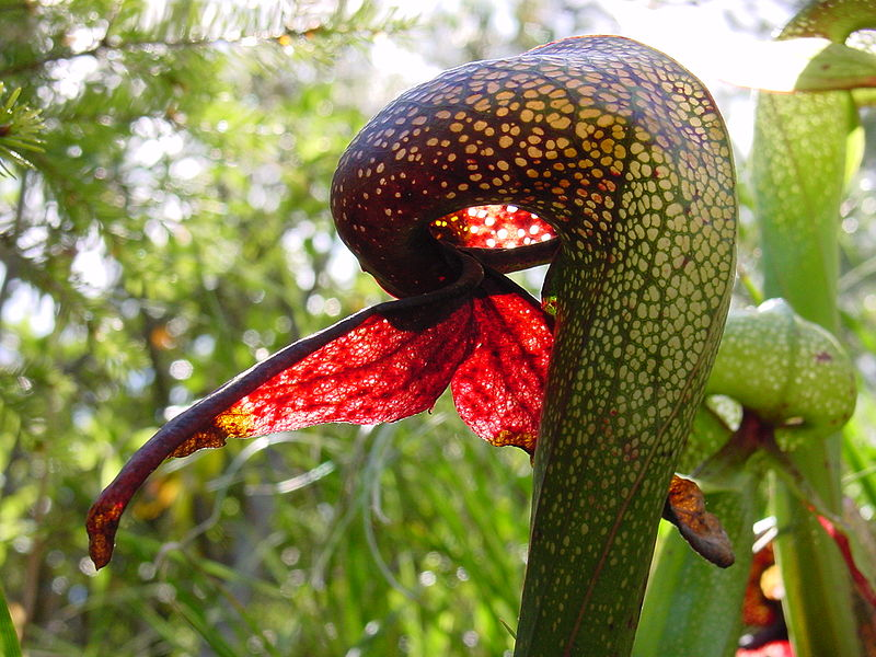 Cobra lilies (Darlingtonia californica) use window-like aeriolae to lure insects into their hollow leaves.