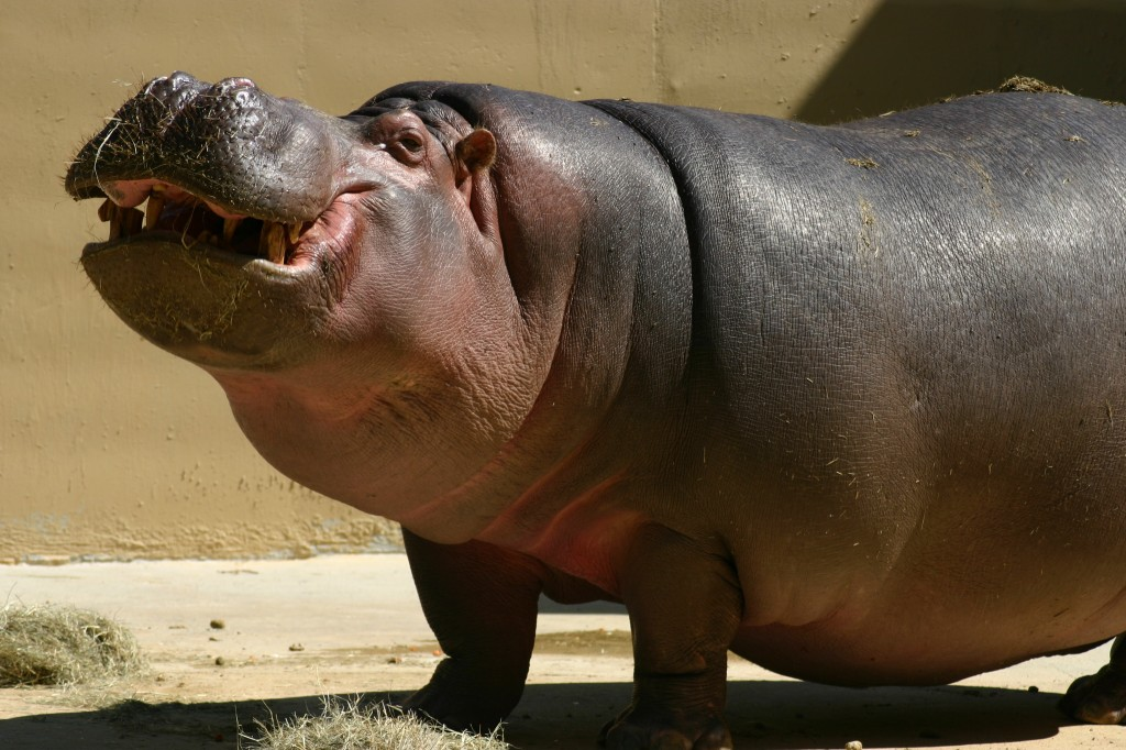Thick skinned hippo