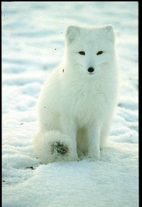 List o' 10 Predators in Sheep's Clothing: Arctic Fox
