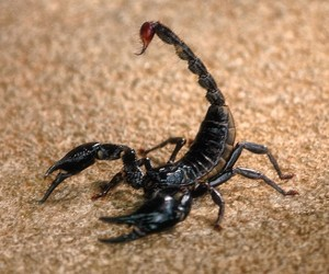 List o' Top 10 World's Most Dangerous Animals - Black Scorpion