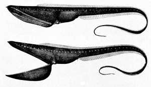 List o' 10 Creatures From the Ocean Depths: Gulper Eel
