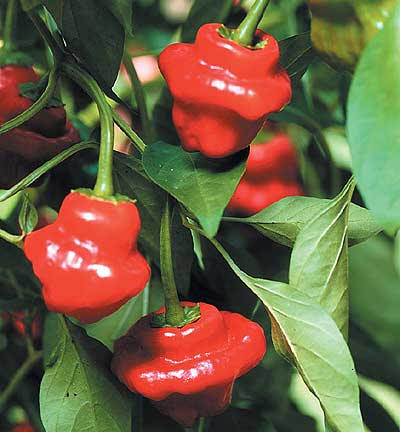 Jamaican Hot Red Peppers