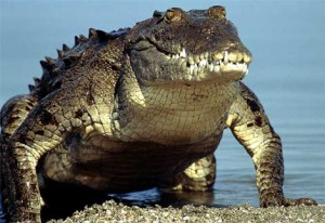 List o' Top 10 World's Most Dangerous Animals - crocodile