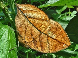List o' 10 Extraordinary Examples of Animal Camouflage: dead leaf butterfly