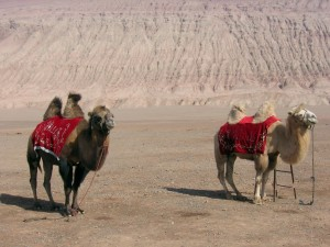 Animal pictures - Desert camels
