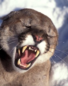 List o' World's Most Dangerous Animals - Growling Mountain Lion