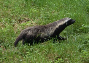 List o' 10 Predators in Sheep's Clothing: honey-badger